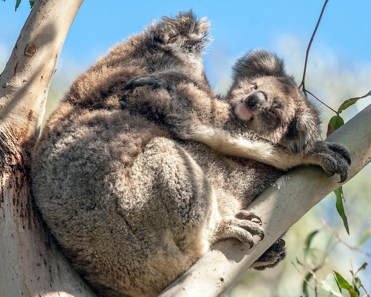 Baby and Mama Koala