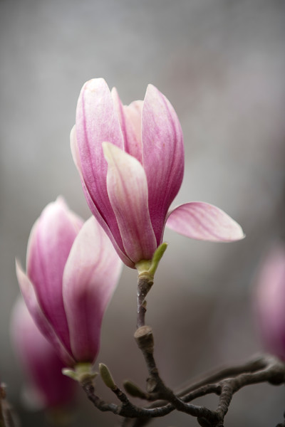 TulipTreeBlossomVerticalMar2020.jpg