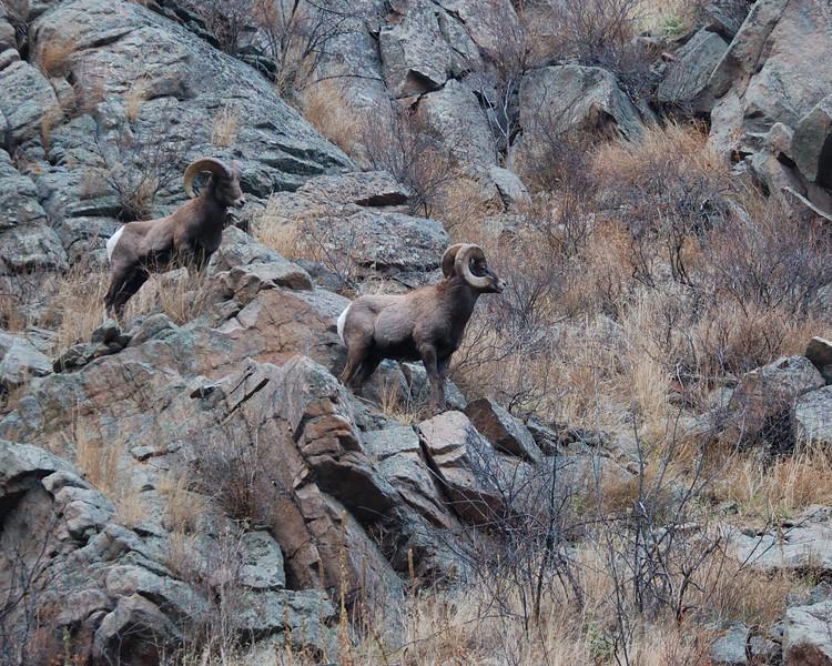 Bighorn Sheep 12062008 067.jpg