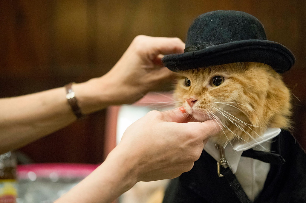 . In this Thursday, Aug. 2, 2018 photo, Sam Checo dresses her Mango backstage ahead of the cat fashion show at the Algonquin Hotel in New York. The Algonquin Hotel\'s annual feline fashion show was presided over by the historic Times Square establishment\'s 12th resident cat, a ginger boy with a theatrical name, Hamlet VIII. (AP Photo/Mary Altaffer)