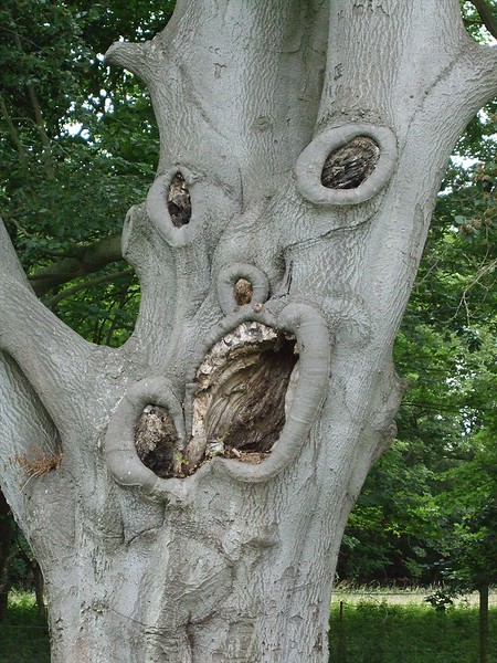 The famous 'screaming tree' - a veteran beech tree with branch decay points create this 'face', located on the Stowlangtoft Estate.