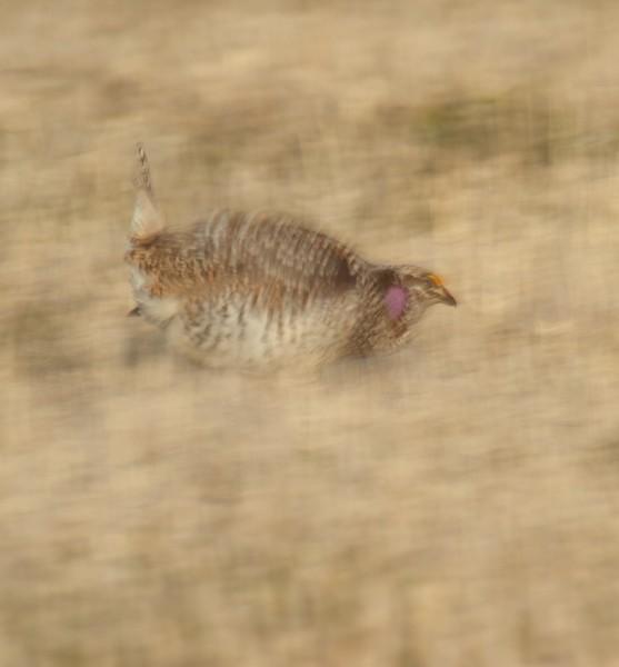Sharp-tailed Grouse Carlton Co MN IMG_0056073.jpg