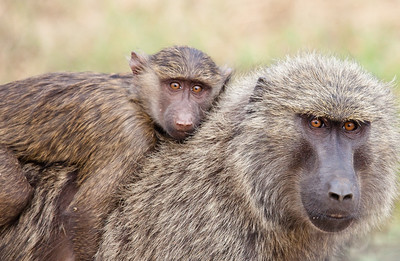 Baboon mother and child. Queen Elizabeth National Park, Uganda.