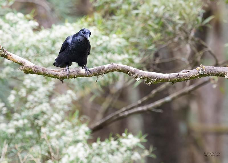 Forest Raven, Otway Ranges, VIC, Oct 2018-2.jpg
