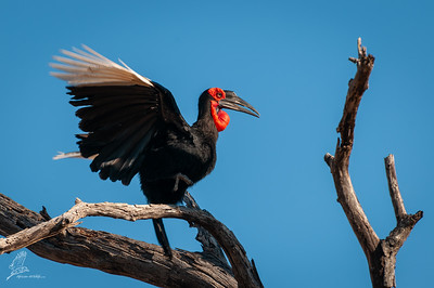 Ground-hornbill, Southern