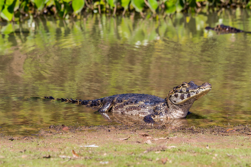 Caiman of the Pantanal, Brazil-47.jpg