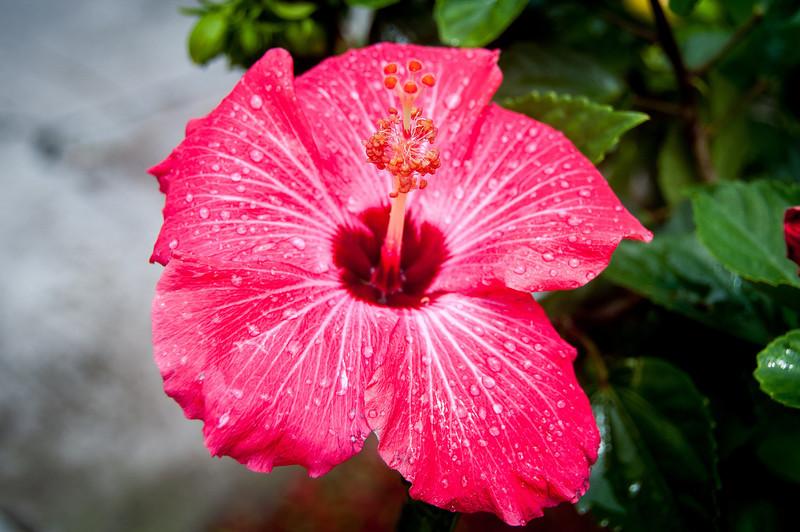Close-up of hibiscus plant in Saba