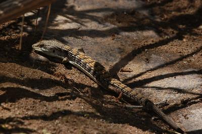 Southern (San Diego) Alligator Lizard