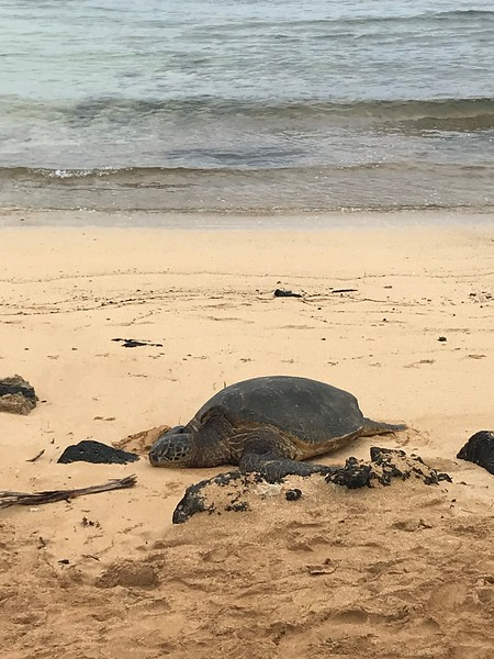 Hawaiian Green Sea Turtle on Poipu Beach