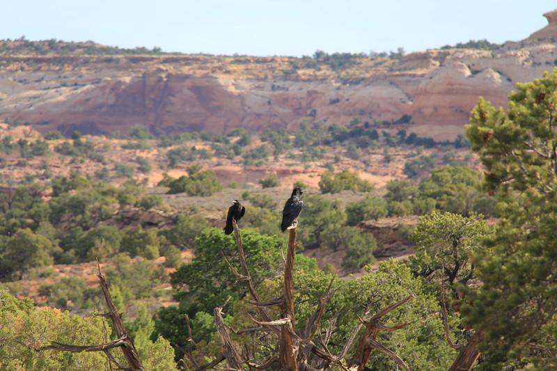 20180715-020 - Canyonlands NP - Ravens at Mesa Arch Trailhead.JPG