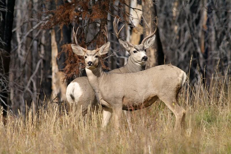 Mule Deer bucks Yellowstone _MG_3963.jpg