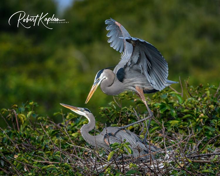 Great Blue Heron-9799.jpg