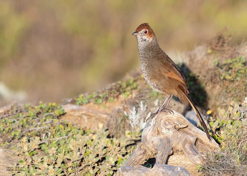 Rufous Bristlebird, Point Addis, VIC, Oct 2018-2.jpg