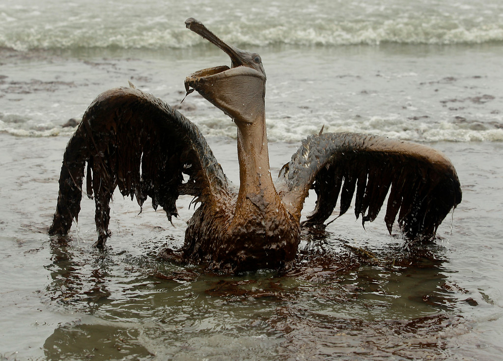 . A brown pelican covered in oil sits on the beach at East Grand Terre Island along the Louisiana coast on Thursday, June 3, 2010. Oil from the Deepwater Horizon has affected wildlife throughout the Gulf of Mexico. (AP Photo/Charlie Riedel)