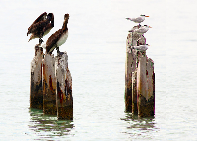 Pelican and common terns on piers.  Southwest tip of Key West