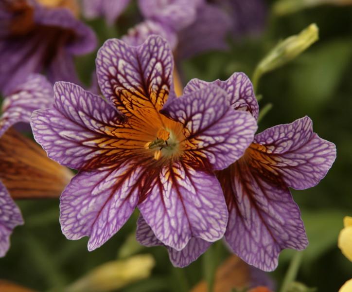 IMG_2496 purple flower may 11 2008.jpg