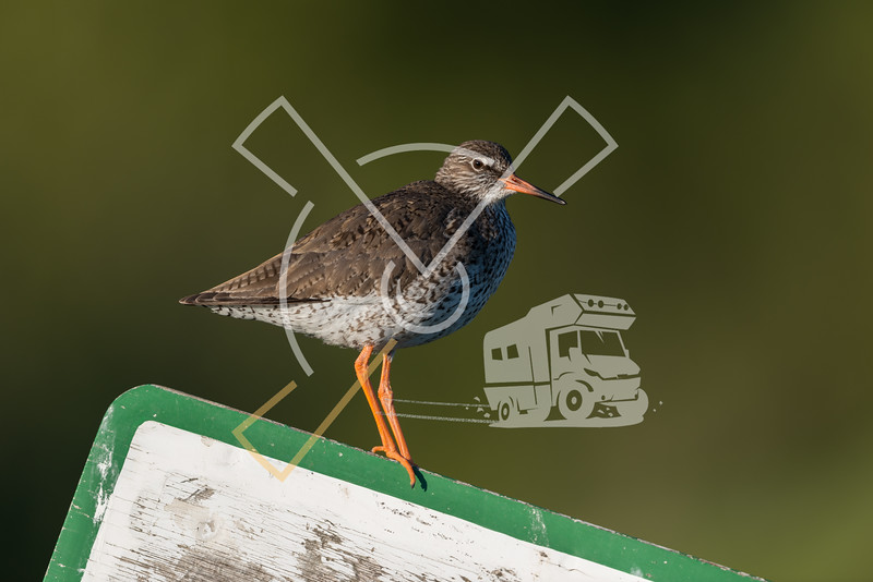The common redshank or simply redshank (Tringa totanus) on a lookout signpost