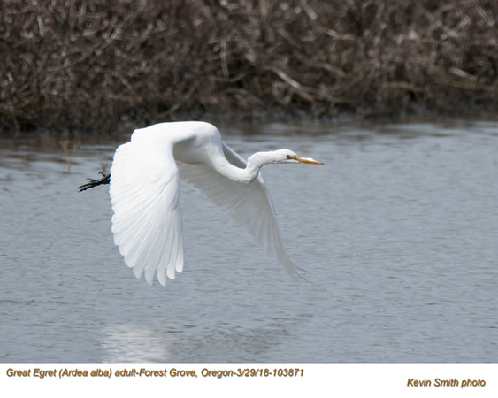Great Egret A103871.jpg