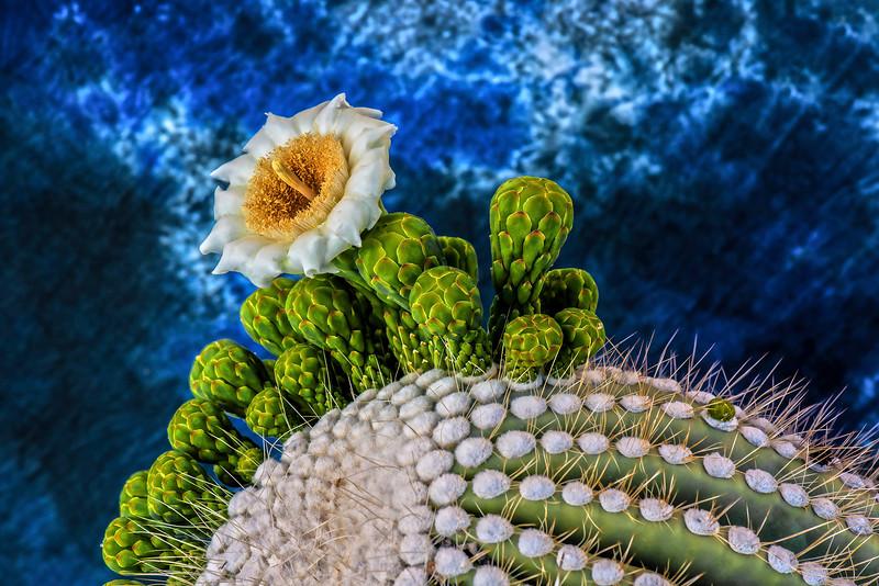 _LAX e Saguaro flower 0297