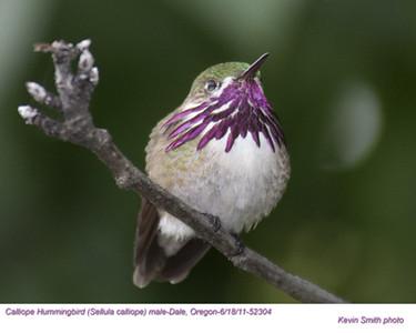 CalliopeHummingbirdM52304.jpg