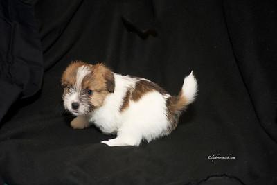Russell Terrier pups
