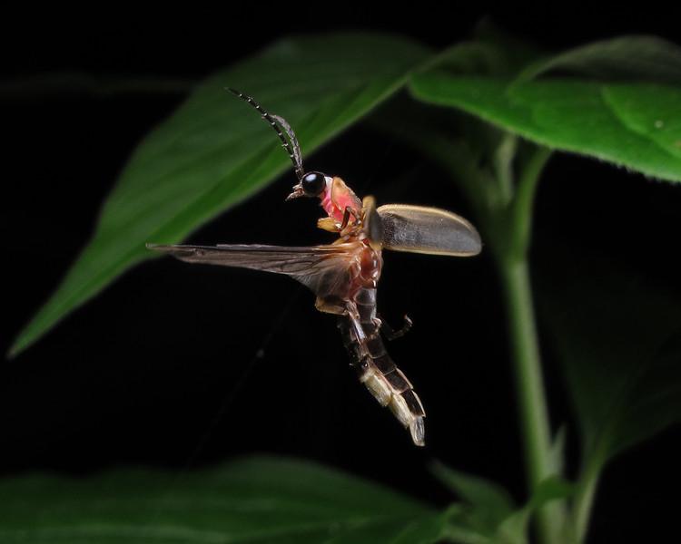 Firefly_2012_06_09_2637