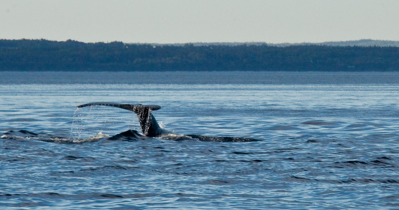 2011 quebec whale watching (60 of 80).jpg