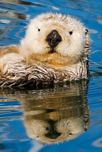 Sea otter portrait times two.