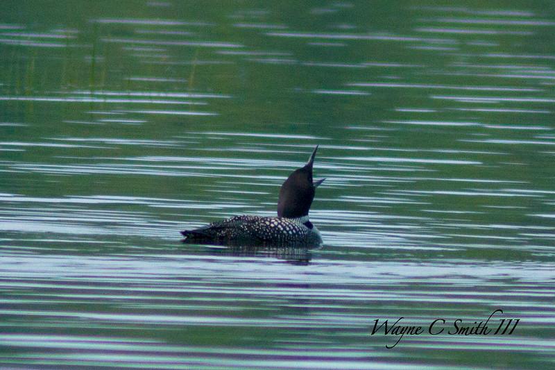 Common Loon Presenting