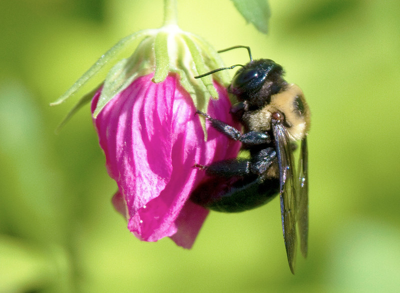 Bumble bee in a Houston flower