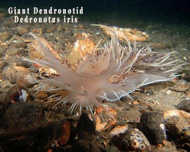 Puget Sound Nudibranchs