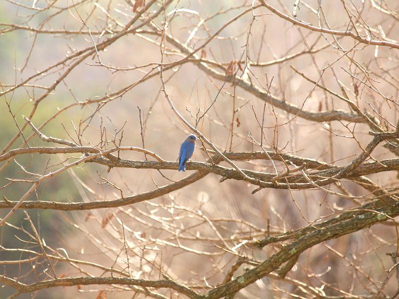 Bluebird-038.JPG