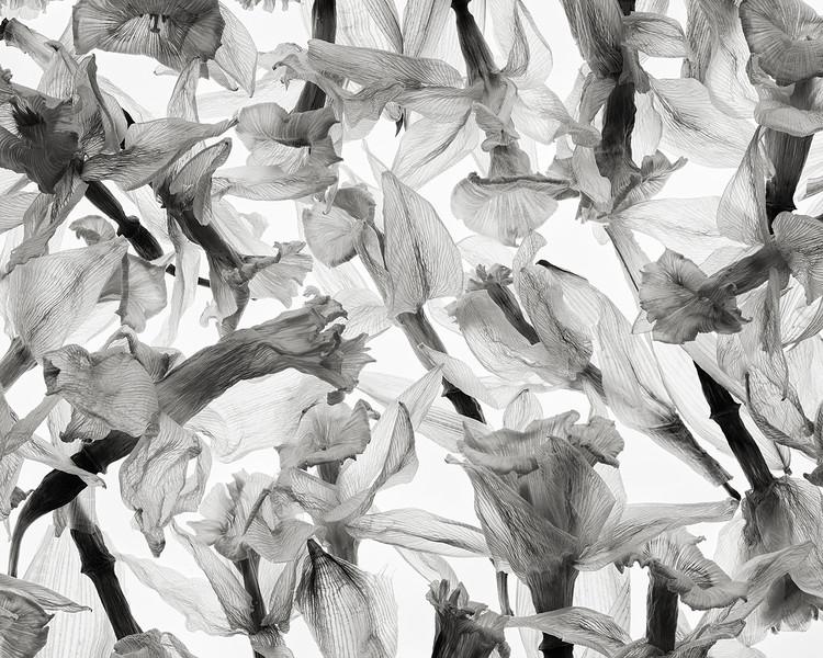 silver-daffodils.jpg