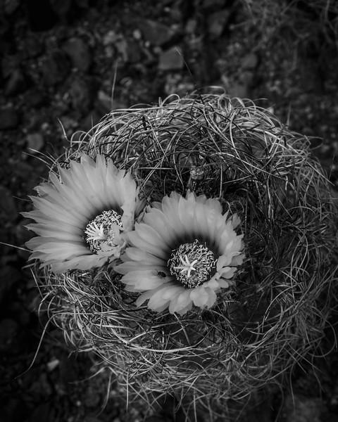 Cactus Blooms-4168.jpg