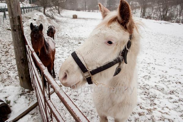 Snowey Horses On Tiger Creek 01-28-14