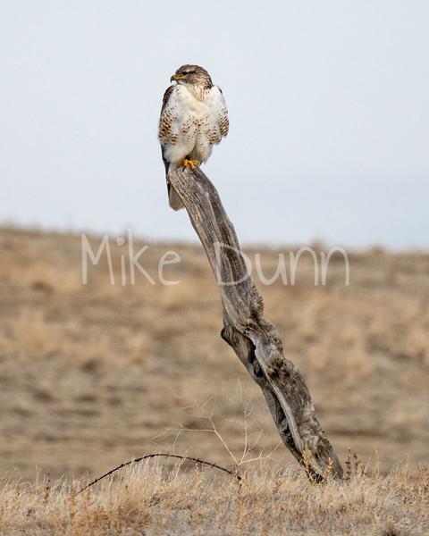 Ferruginous Hawk-142