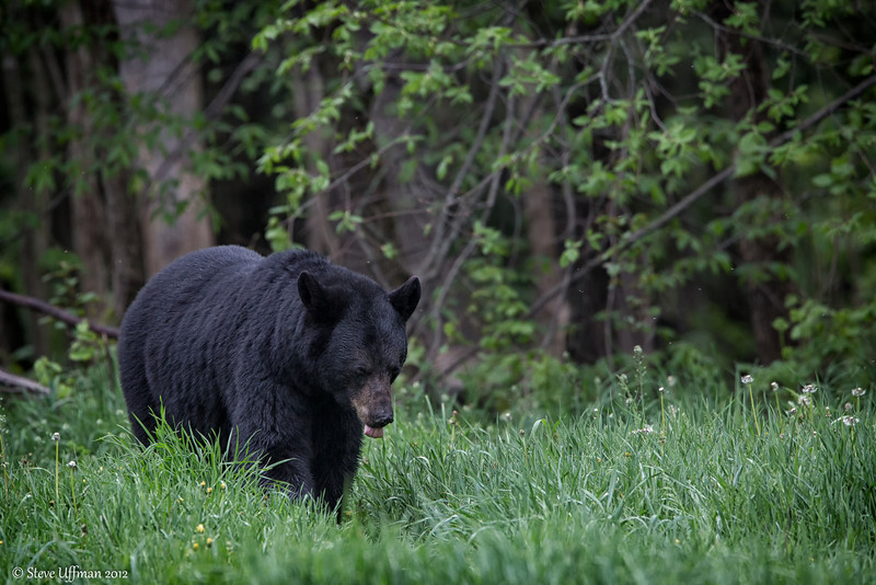 20120520-_Q2C6571Black_Bears-Edit.jpg