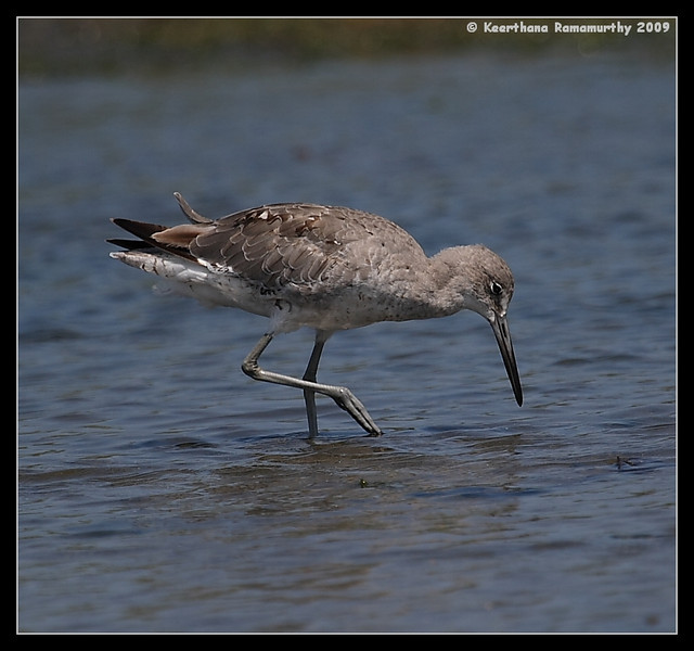 Willet, Robb Field, San Diego River, San Diego County, California, August 2009