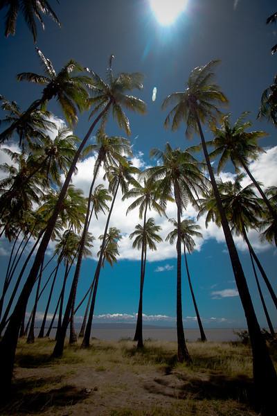molokai palm trees 4.jpg