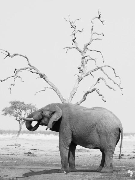 Mono Bull Elephant