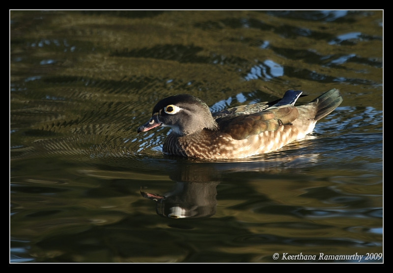 Wood Duck, Santee Lakes, San Diego County, California, January 2009