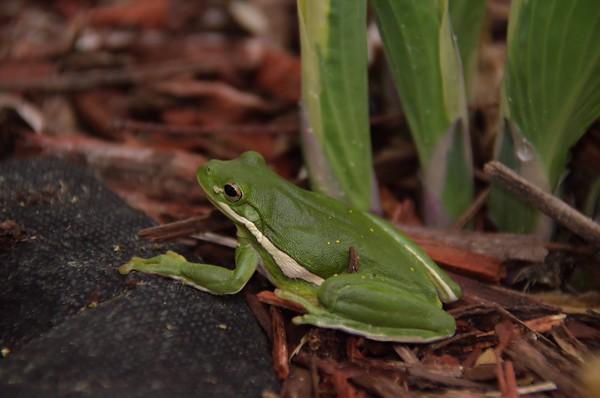 Backyard Amphibians