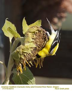 American Goldfinch M83212.jpg