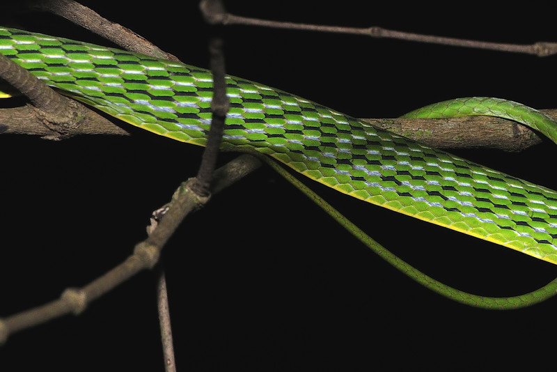 Green-Vine-Snake-02.jpg