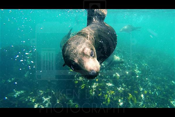 Cape Fur Seals, SDSDA Ex26 South Africa
