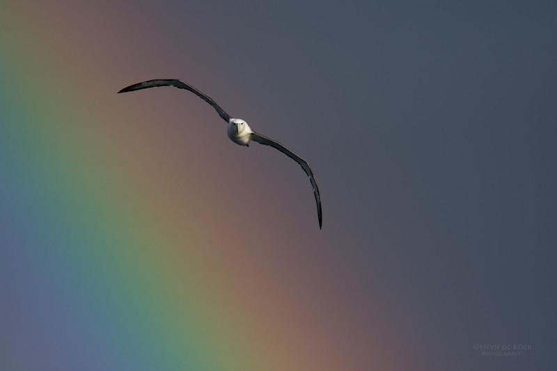 Shy Albatross, Eaglehawk Neck Pelagic, TAS, May 2016-5.jpg