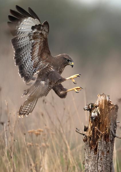 Common Buzzrard landing