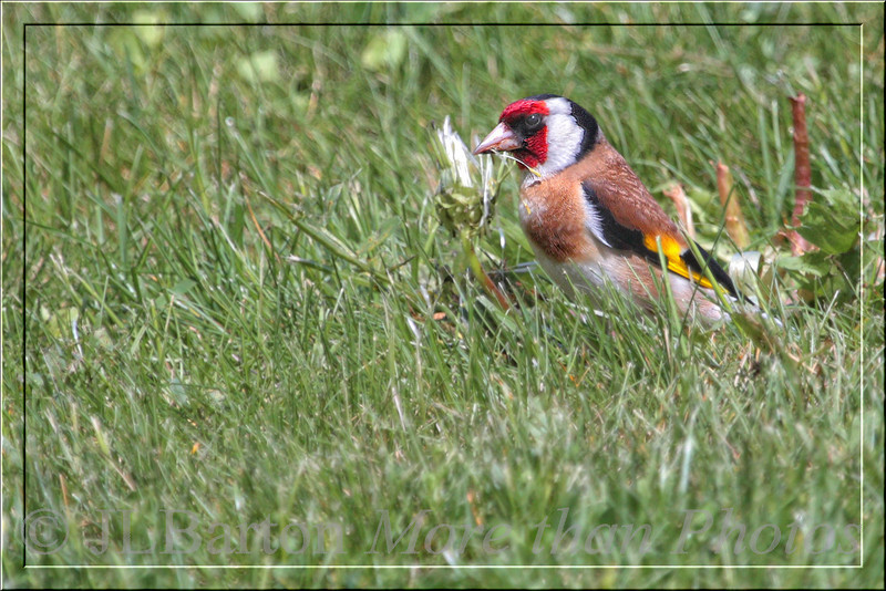 Goldfinch in the grass First one I've seen, here in a fruit orchard at Schlosshof