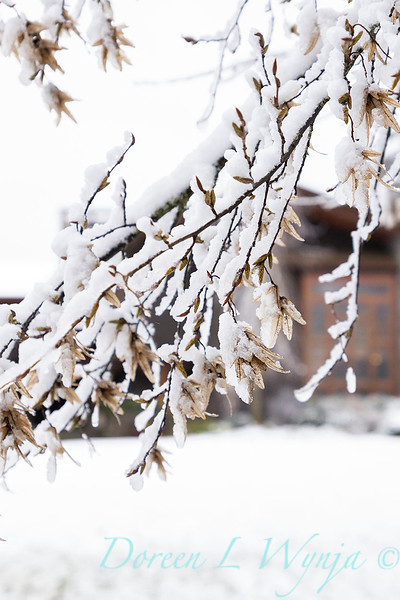 Quercus palustris with seeds in snow_4269.jpg