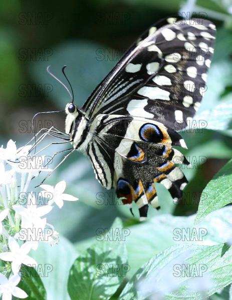 African Citrus-Lime Swallowtail; Common Lime Butterfly; Lemon Butterfly; Lime Swallowtail; Small Citrus Butterfly; Chequered Swallowtail; Mariposa del Muerte; Dingy Swallowtail; Citrus Swallowtail (Papilio demoleus).